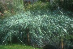 Plant photo of: Leymus arenarius 'Glauca'