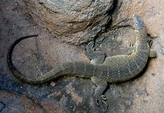 Nile Monitor Lizard. My brother had one just like this! His name was Kongo. IC