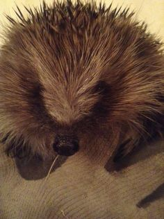 BW Hedgehog Rescue Henry at  900g 5 months later when he was released #fridayfund #hedgehog #fundraising #giving