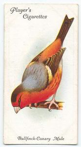 Bullfinch-Canary Mule bird (c. 1903-1917)