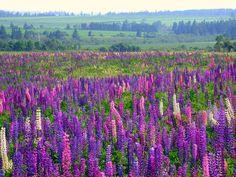 【赤毛のアンの舞台】世界一美しいゆりかごの島、プリンス・エドワード島 5枚目の画像