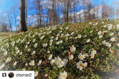 Vinter er på ferie nå. #reiseliv #reisetips #reiseblogger #reiseråd  #Repost @olsmar2 with @repostapp  Hvitveis - white anemones ... #borrehaugene #mitthorten #nationalpark #viking #anemones #mittvestfold #gjengangeren #pocket_norway #flower #norway #nrkvestfold #godmorgennorge #exclusive_norway #fotofanatics_norway