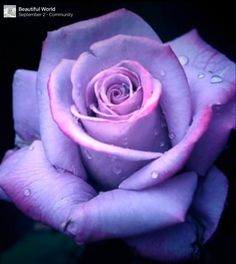 Lilac/Orchard rose
