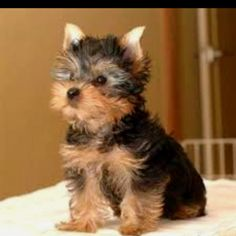 My Mom wants to get my Pops a puppy for Christmas (bad idea #1) so naturally, she wants to get him a Yorkiepoo (actually not bad idea #2 because 6'5 tall Steve has a soft spot for little, bitty dogs)