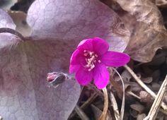 Pink Hepatica, so beautiful