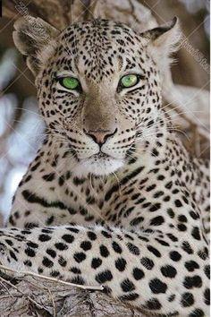 animals wild beautiful creatures mammals Beautiful cheetah with beautiful green eyes Beautiful Cats, Animals Beautiful, Cute Animals, Gorgeous Eyes, Pretty Eyes, Colorful Animals, Baby Animals, Majestic Animals, Nature Animals