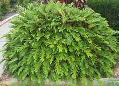 philodendron xanadu   Philodendron ' Xanadu'