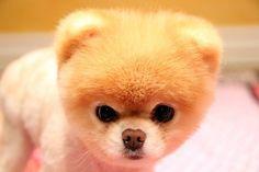 boo nain | Boo --SPITZ nain | Chiens et chats | Pinterest