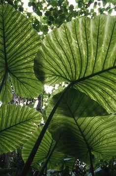 Rainforest Plants, Thailand Adventure, Plant Aesthetic, Artsy Photos, Okinawa Japan, Tropical Leaves, Natural Wonders, Planting Flowers, Plant Leaves