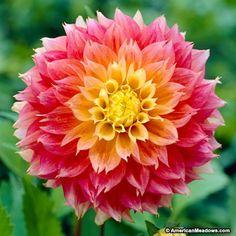 Kogana Fubuki Dahlia Flower Seeds 50 Stratisfied Seeds Treasures by lee Bulb Flowers, My Flower, Beautiful Flowers, Dahlia Flowers, Peony Root, American Meadows, Growing Dahlias, Short Plants, Flower Seeds