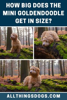 The Mini Goldendoodle is exactly that, a mini teddy. The Mini Goldendoodle size can be classified as miniature since they stand between 14-17″ in height and can weigh anywhere between 15-30 pounds. Read on for more details.  #minigoldendoodle #minigoldendoodlesize #miniaturegoldendoodle Goldendoodle Miniature, Miniature Dog Breeds, Mini Goldendoodle Puppies, Labradoodle, Low Shedding Dogs, Puppy Stages, Teddy Bear Dog, Golden Puppy, Cute Dogs Breeds