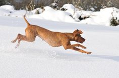 Lots of snow and cold weather in 2009. Hungarian Vizsla, Alice is enjoying it.