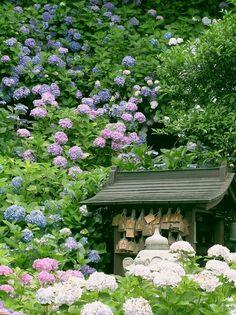 Hydrangea In Full Bloom, Japan