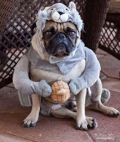 Pug dressed as a squirrel.