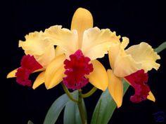 Cataleya flower