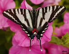 Tennesee State Butterfly, Zebra Swallowtail on pink flower by *billcoo*, via Flickr   The zebra swallowtail butterfly (Euryotides marcellus) was designated the official state butterfly of Tennessee in 1995. The zebra swallowtail has black and white stripes running the length of its body with red and blue spots on the lower back.