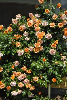 Climber Roses「Royal Sunset」(1960) Dennison Morey ,USA