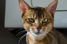 The most CHARMING Cats with long ears