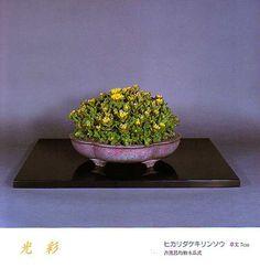 Výsledky obrázků Google pro http://bonsaibark.com/wp-content/uploads/kusa.jpg