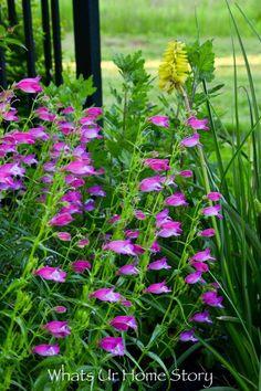 Spring garden flowering perennials -Penstemon barbatus Prairie Dusk or Penstemon 'Prairie Dusk' or Prairie Dusk Beardtongue