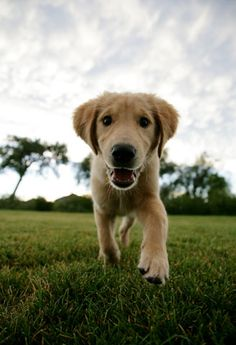 Moose, a golden retriever from Denver, Colorado. I love smiling dogs! Baby Puppies, Cute Puppies, Cute Dogs, Dogs And Puppies, Best Dog Photos, I Like Dogs, Love Pet, Mans Best Friend, Best Dogs