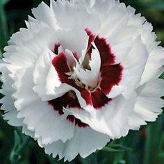 Coconut Surprise Dianthus Garden Pink Plant