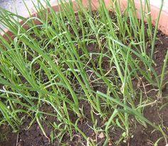 Cipolle più corpose con l'annoccatura - Coltivare l'orto