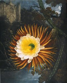 the night-blowing cereus, 1799, by robert john thornton, published in 'the temple of flora', 1804