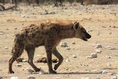 Una hiena en el Parc Nacional d'Etosha (Namíbia). A spotted hyena in Etosha National park (Namibia)