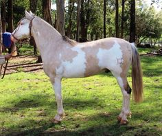 this is a Criollo horse, native to S. America, the bridle is traditional: it has no cheekpieces, but does have a line connecting the noseband with the throatlatch, under the jaw