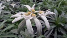 Stella alpina. Pianta perenne resistente alle basse temperature. Propria produzione
