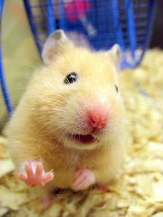 Hamstercillo simpaticon  Awww so cute, looks like my first hamster, Hammy!