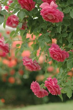 roses of may by @_chan, via Flickr