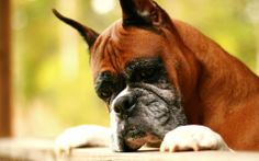 186 best boxer images on pinterest doggies dogs and pet dogs