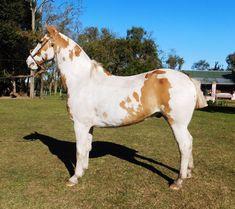 VENDIDO -OVERO GATEADO muy liberal garantido cruza Arabe Horses, Animals, Horses For Sale, Walks, Be Nice, Animais, Animales, Animaux, Animal