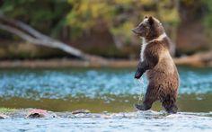 Bear, Grizzly, Canada, river, fish / WallpaperCASA