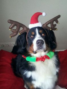 My baby girl Lola :) Dog Christmas Bernese Mountain Dog