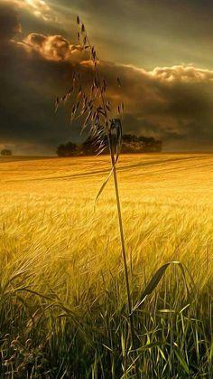 Champs de blé.