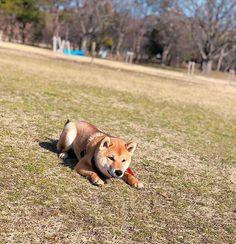 おはようございます☀️ 獲物を狙う⚔️ポン太です🐾笑 先輩わんちゃんの真似したよ😳💓💓 ㅤㅤㅤㅤㅤㅤㅤㅤㅤㅤㅤㅤㅤ 暖かかったので、たくさん走って帰りはクタクタ😭ままがw ㅤㅤㅤㅤㅤㅤㅤㅤㅤㅤㅤㅤㅤ #ポン太#獲物を狙う#柴犬#日本犬#しばいぬ#しばけん#わんこ#赤柴#男の子#オス#散歩#子犬#犬バカ部#愛犬#柴犬マニア#公園#shibainu#dog#犬#かわいい#8ヶ月#shibainustagram #shibapuppy #shibadog #🐕 #shibalove #shibamania#shibaken #shibainu #柴犬部