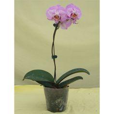 Midi Phalaenopsis