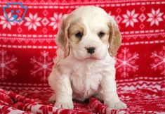 This Cocker Spaniel puppy has a cool personality and will make a great companion dog. He will be your buddy from day one and will constantly be by your Baby Puppies For Sale, Spaniel Puppies For Sale, Cocker Spaniel Puppies, Spaniel Dog, Corgi Puppies, Spaniels, Equine Photography, Animal Photography, Black Labrador