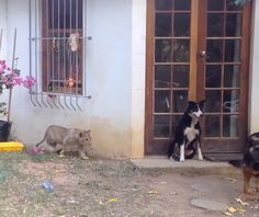 This Sneaky Lion Cub Is About To Scare His Dog Friend - TOO CUTE