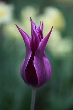 Buy lily flowered tulip bulbs Tulipa 'Maytime': Delivery by Crocus