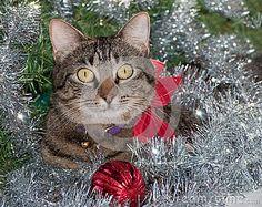 Gray tabby cat in silver Christmas tinsel by Pimmimemom, via Dreamstime