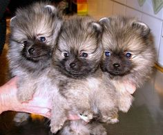 wolf sable pomeranian is like a mini Kesshond