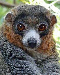 """Lemurs are a species of endemic monkey from Madagascar. The five families of this atypical monkey are only observable at the four corners of """"the big island"""". It can be found in national parks, nature reserves or in its simplest habitat, the rainforest. Cute Small Animals, Cute Wild Animals, Unusual Animals, Rare Animals, Cute Funny Animals, Animals And Pets, Strange Animals, Cute Creatures, Beautiful Creatures"""
