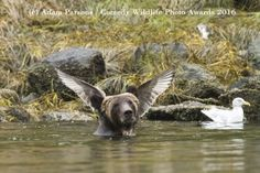 (a Bear Angel!) 2016 Finalists :: Comedy Wildlife Photography Awards - Conservation through Competition