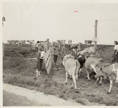 Farmerettes herding cows :: Archives & Special Collections Digital Images :: 1942 (MHC)  http://pinterest.com/mhcarchivesspec/wartime-at-mhc/  We've added some great new photos of Farmerettes to our Wartime at MHC Pinterest board!
