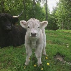 An entry from Velvet Bambi Cute Baby Cow, Baby Animals Super Cute, Pretty Animals, Cute Cows, Cute Little Animals, Cute Funny Animals, Animals Beautiful, Baby Farm Animals, Baby Cows