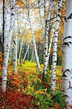 Fall nature photography trees 60 Ideas for 2019 Birch Tree Art, White Birch Trees, Watercolor Landscape, Landscape Art, Landscape Paintings, Autumn Nature, Nature Tree, Autumn Scenes, Aspen Trees